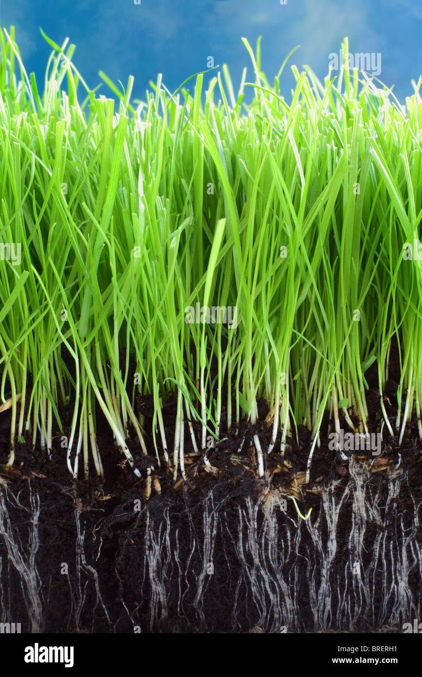 Fresh grass growing in compost with close up detail of the roots showing. A blue sky above. Stock Photo
