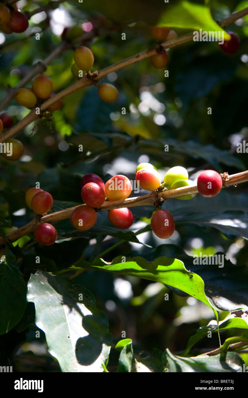 Coffee berries grow on a coffea arabica plantation in San Rafael de Heredia, Costa Rica. - Stock Image
