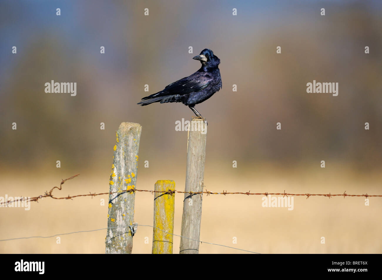 Rook (Corvus frugilegus) on a perch, pasture fence, Swabian Alb, Baden-Wuerttemberg, Germany, Europe - Stock Image