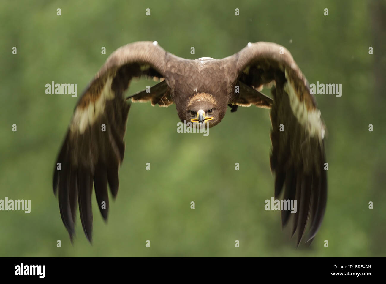 Golden Eagle (Aquila chrysaetos) in flight. - Stock Image