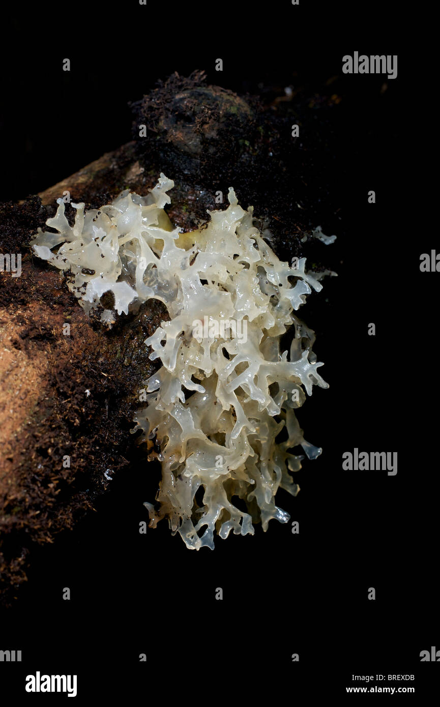 A tremella sp. fungi commonly known as a Jelly fungus on a fallen tree in Haui Kha Khaeng, Thailand. - Stock Image