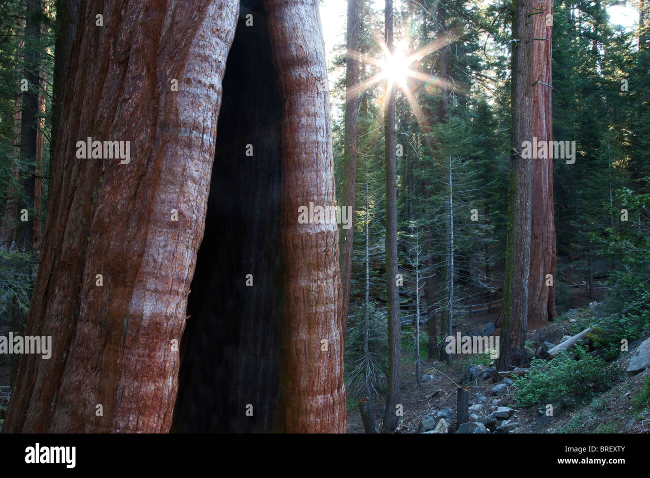 Burned out Giant Sequoia tree with sunburst in Grant Gove. Kings Canyon National Park, California - Stock Image