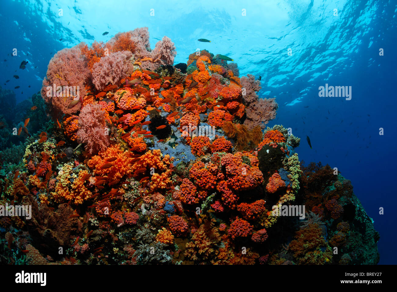 Coral block in a coral reef with a variety of red Sea Fans (Melithaea ochracea), tubastrea corals and Fairy Basslets - Stock Image