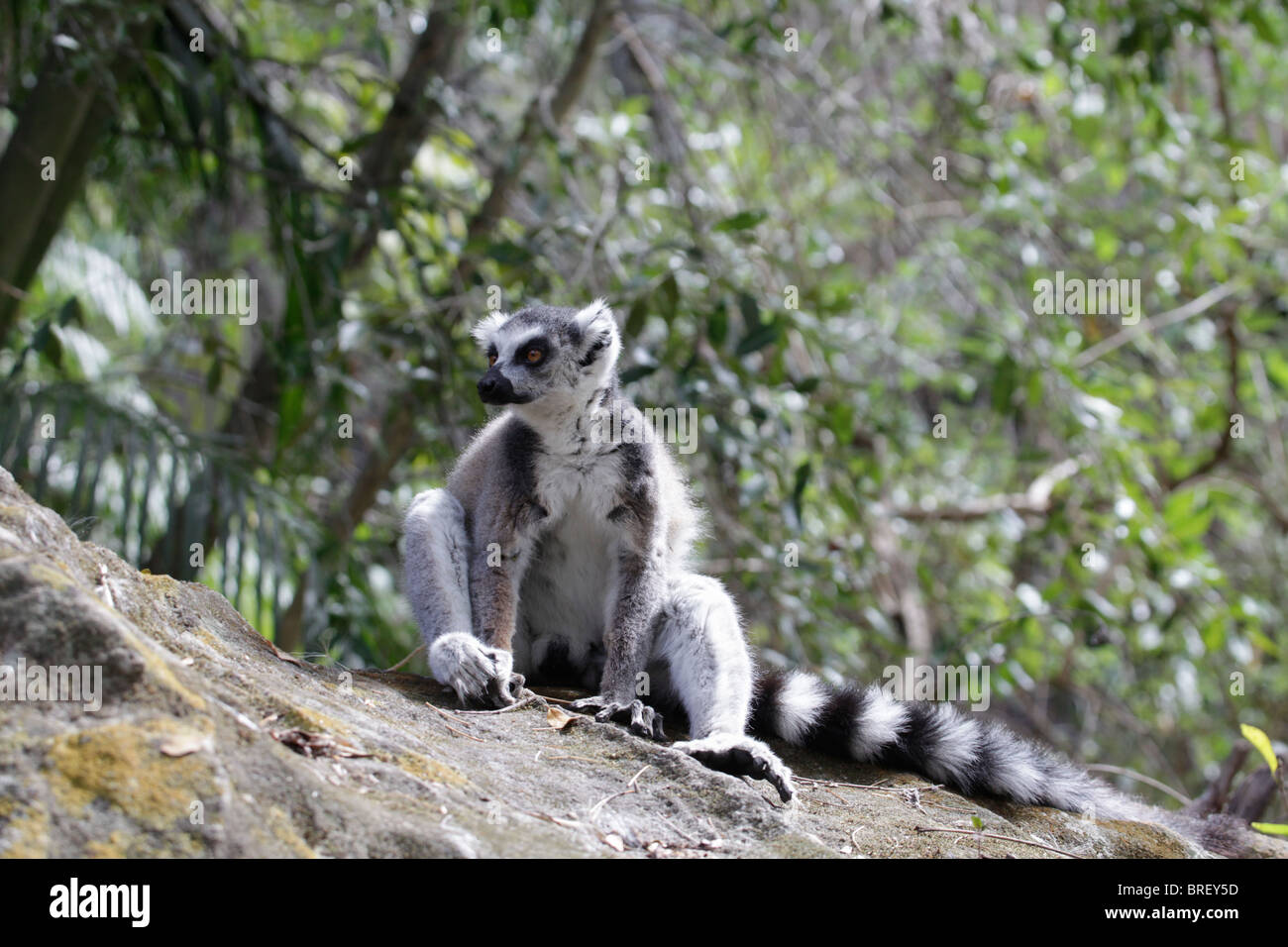 Wild Ring-tailed Lemur (Lemur catta) sitting on a rock in Isalo National Park, south-western Madagascar. Stock Photo