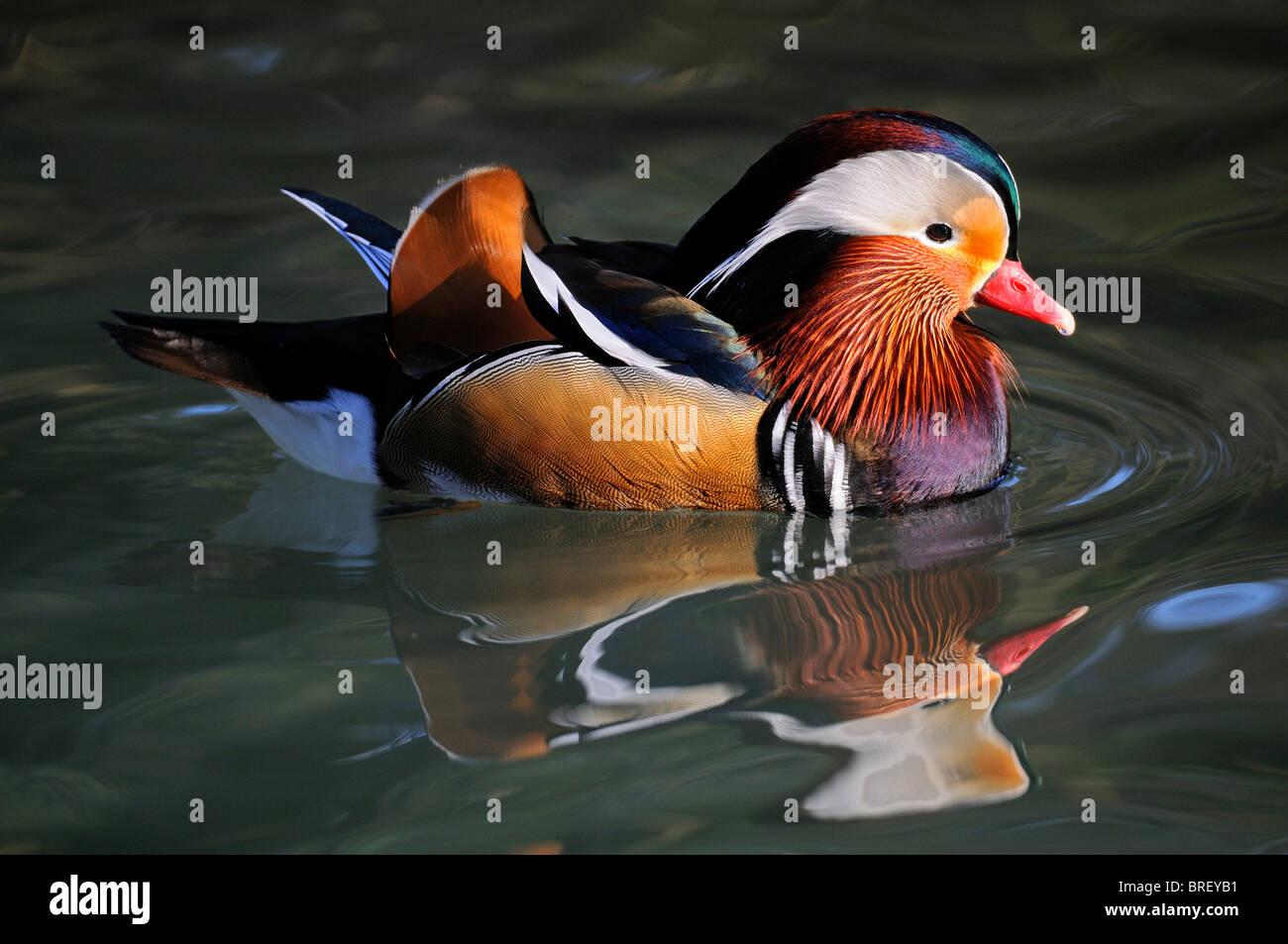 Mandarin Duck (Aix galericulata), drake - Stock Image