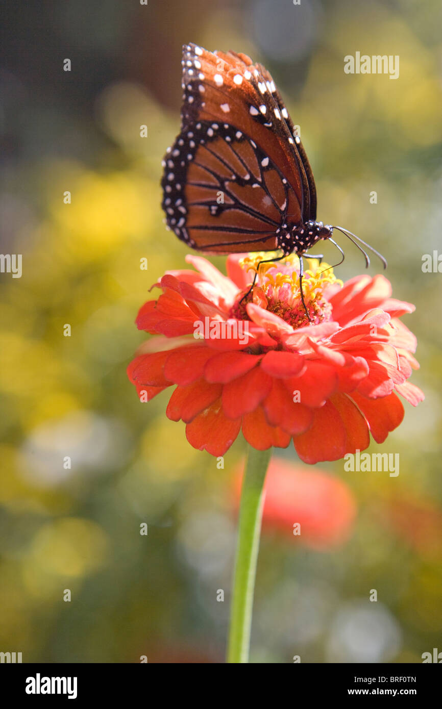 Southwestern United States, monarch butterfly, drinking from a zinnia flower. Danus Plexippus - Stock Image