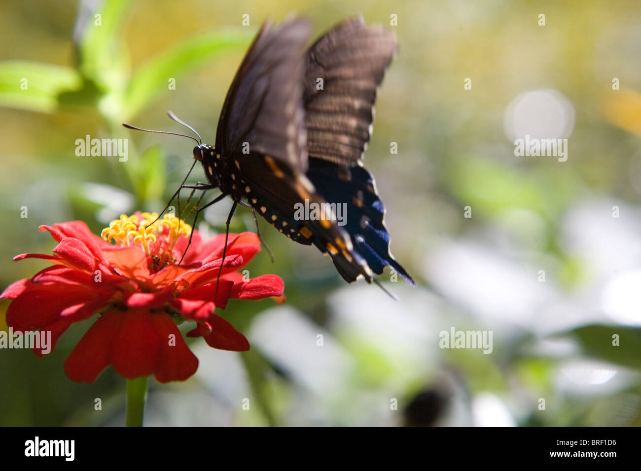 butterfly resting on a zinnia flower eating, black with orange and blue markings, landing - Stock Image