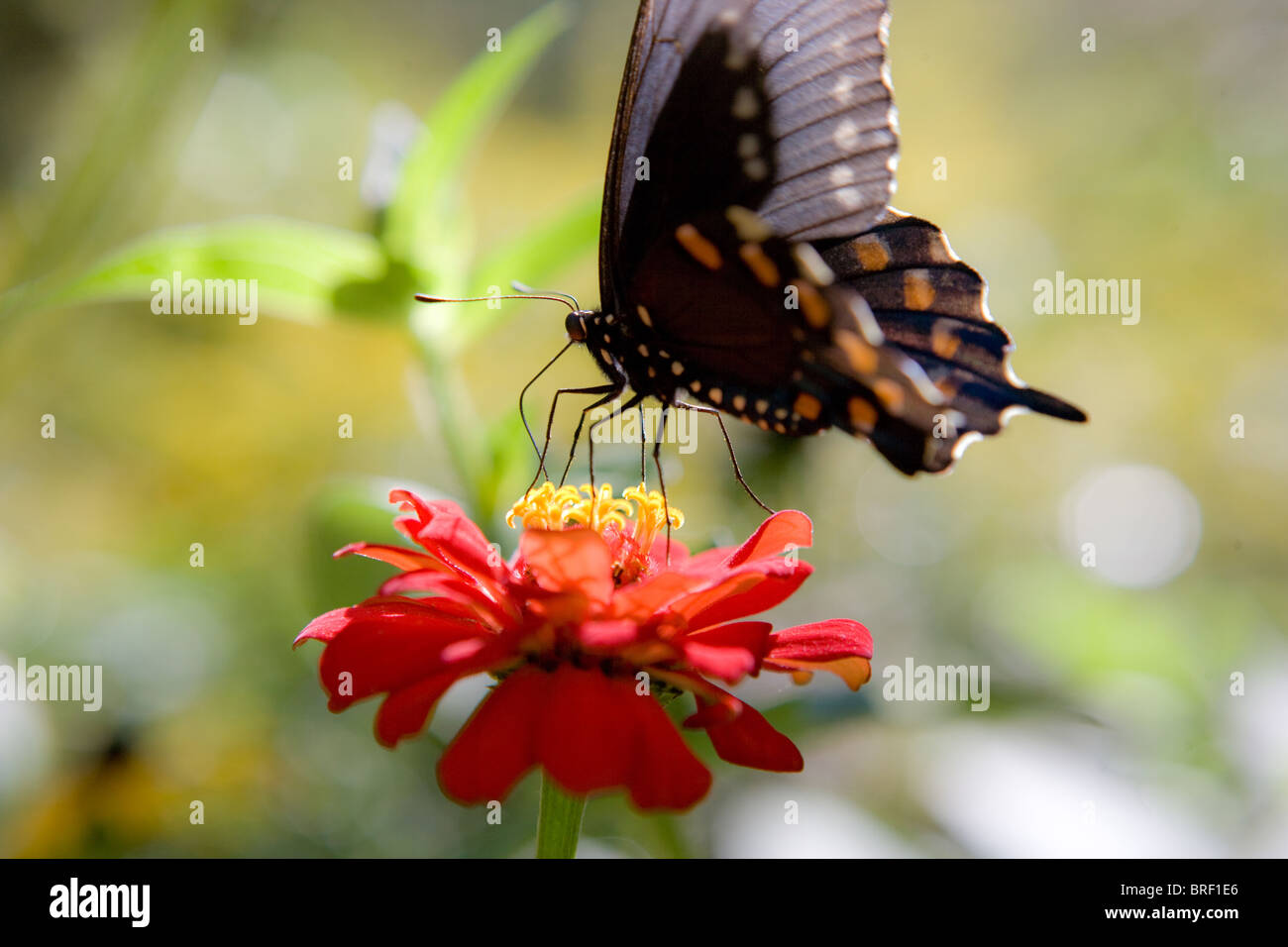 swallowtail butterfly resting on a zinnia flower, eating - Stock Image