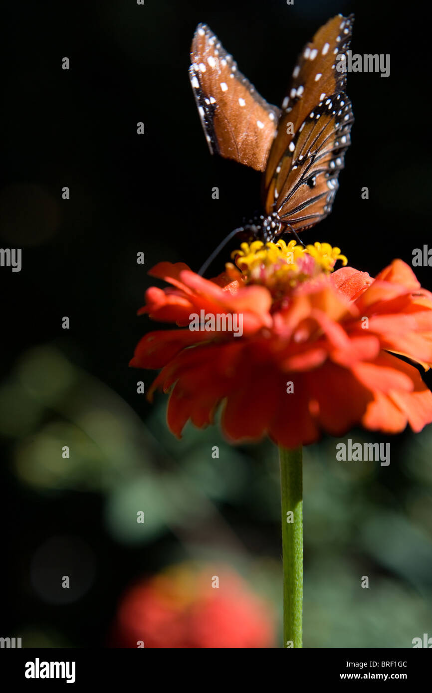 Southwestern United States, monarch butterfly, drinking from a zinnia flower. Danus Plexippus - Stock Image
