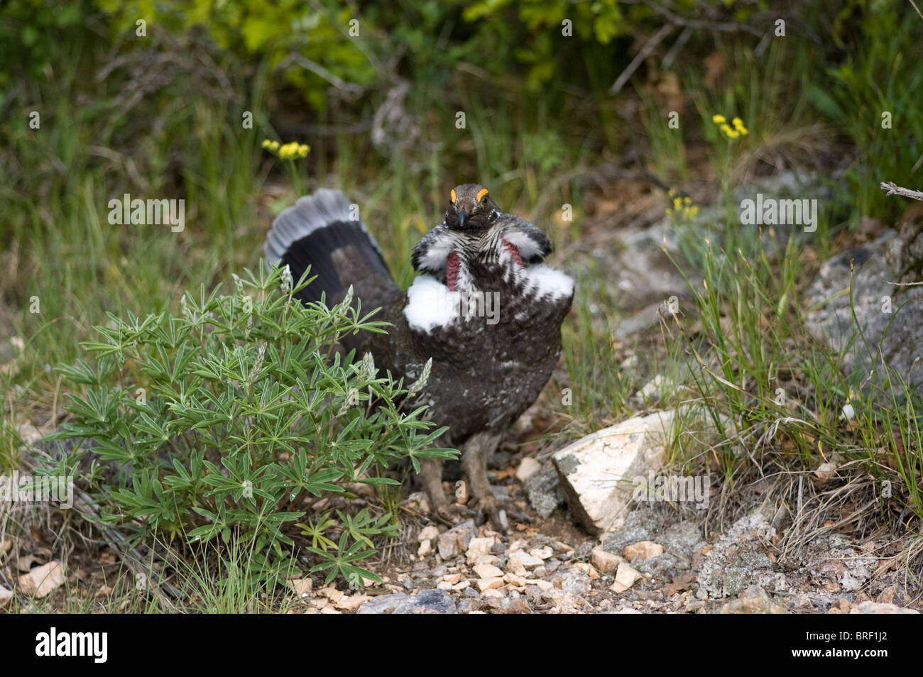 Male Dusky Grouse (Dendragapus obscurus) displaying feathers, Black Canyon of the Gunnison National Park, Montrose, Stock Photo