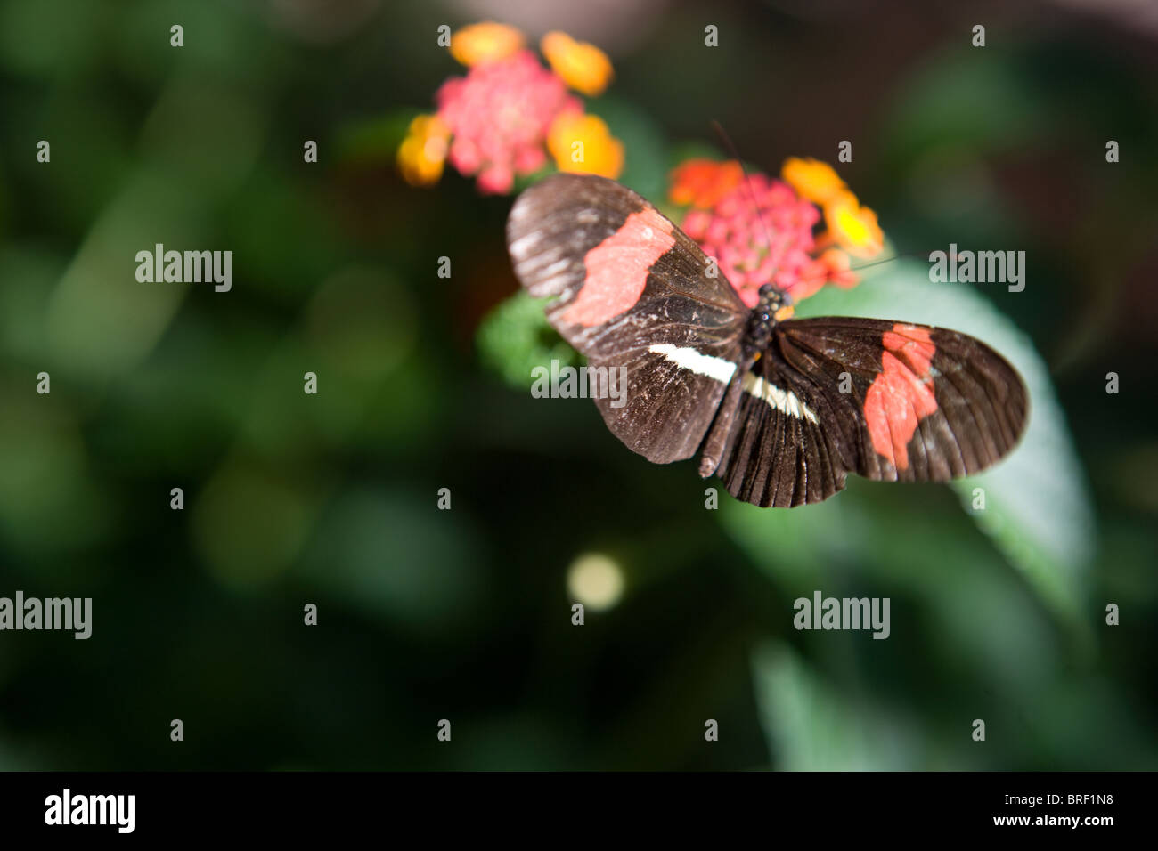pink-striped butterfly drinking from a flower, high angle view, Southwestern United States - Stock Image