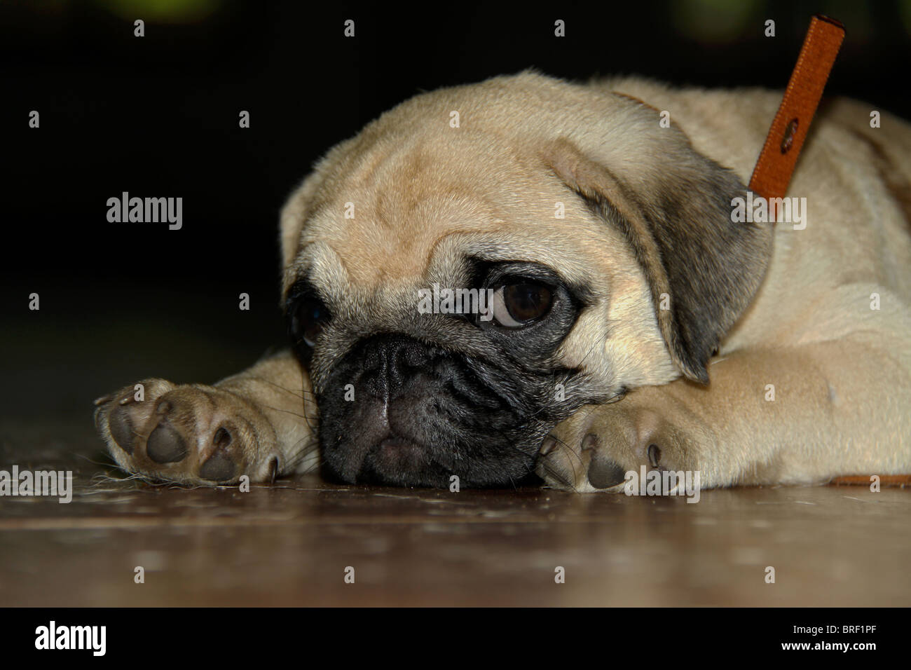 Pug at the 23rd All India All Breeds Open Dog Show held at Chandra Sekharan Nair Stadium, Thiruvananthapuram, Kerala, - Stock Image