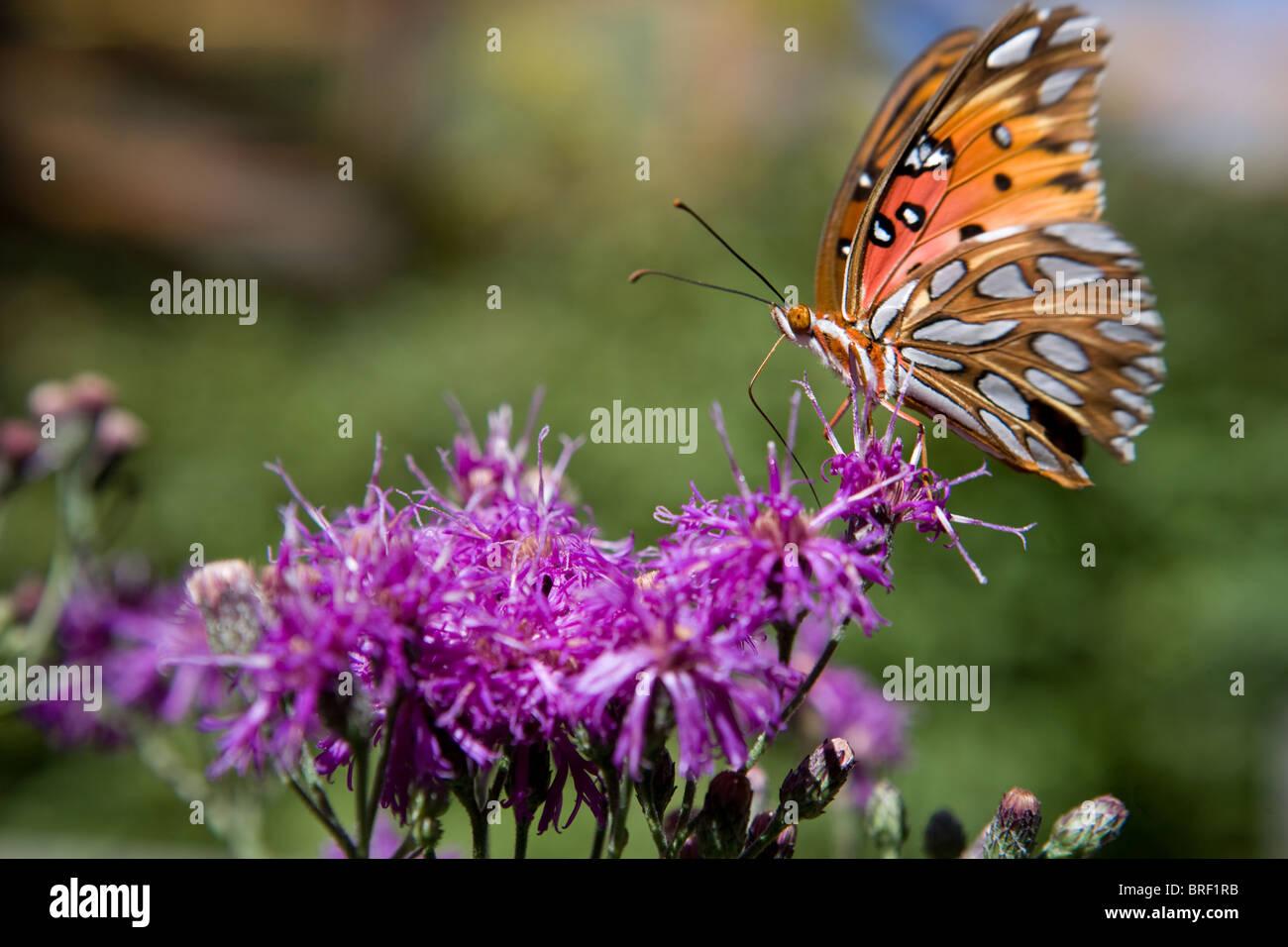 butterfly fluttering on a bright purple flower - Stock Image