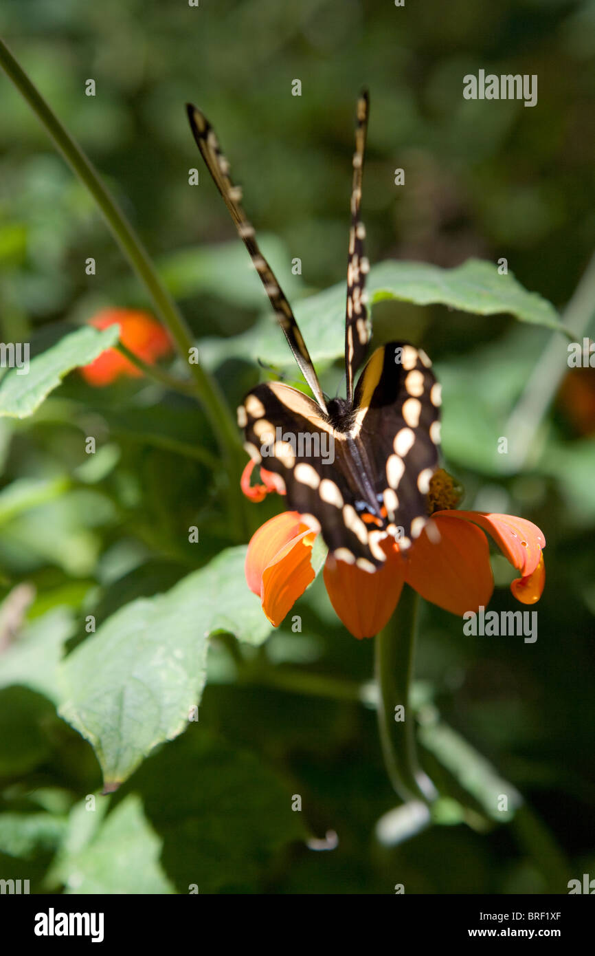 rear angle of swallowtail butterfly, two pair, set of wing, back, resting on a flower - Stock Image
