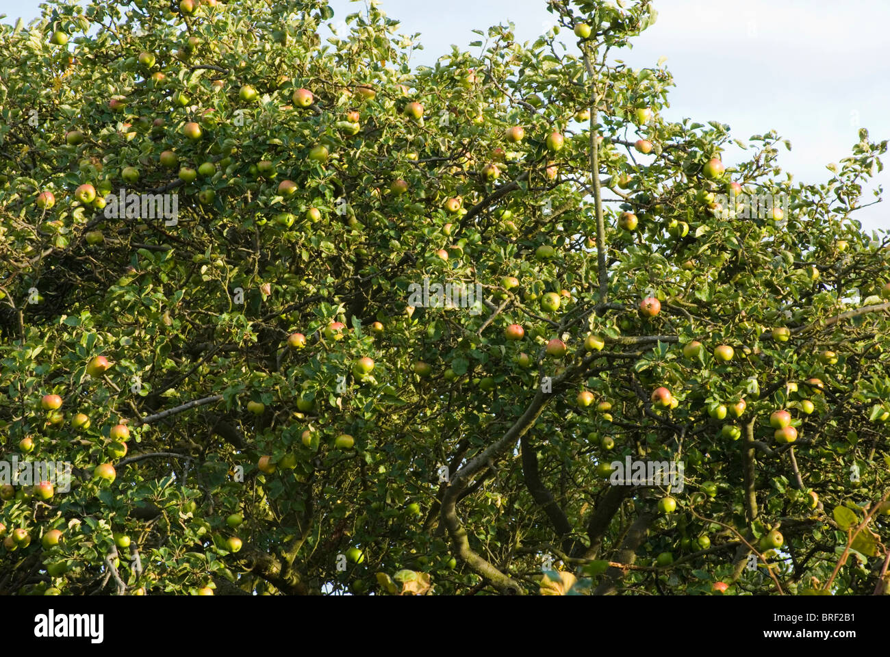 An old Bramley apple tree laden with fruit - Stock Image