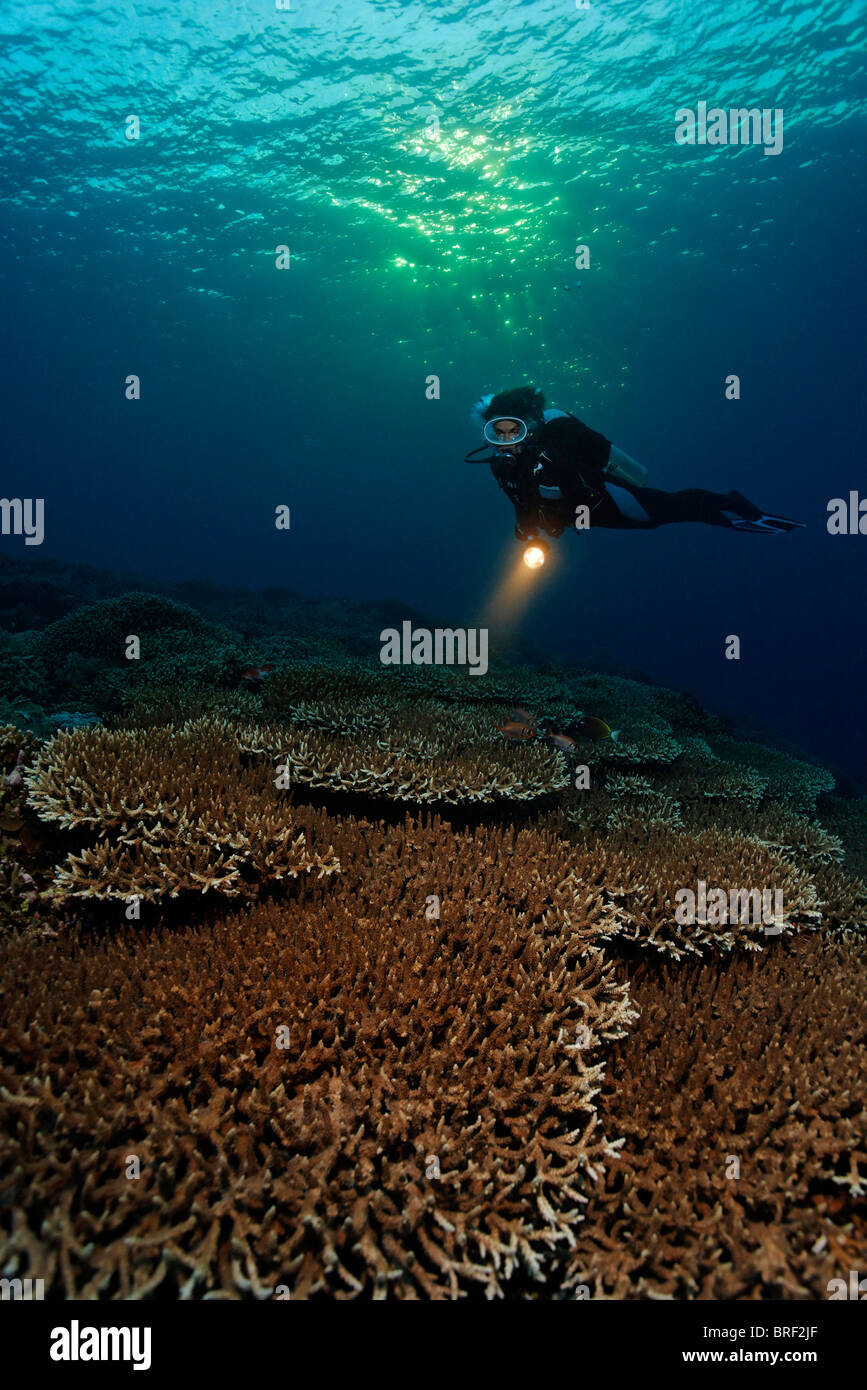 Diver diving at dusk, sunset, above coral reef with table corals (Acropora sp.), Gangga Island, Bangka Islands, - Stock Image