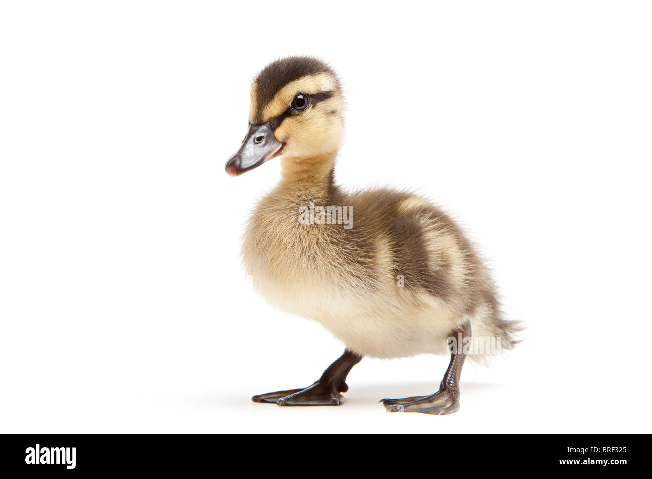 duckling isolated on white background - baby mallard (Anas platyrhynchos) closeup - Stock Image