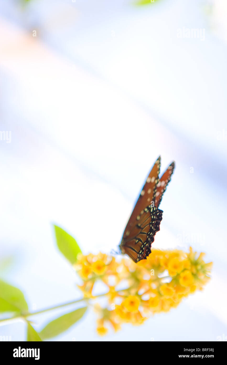dreamy image of a monarch butterfly drinking from a yellow butterfly bush, Southwestern USA - Stock Image