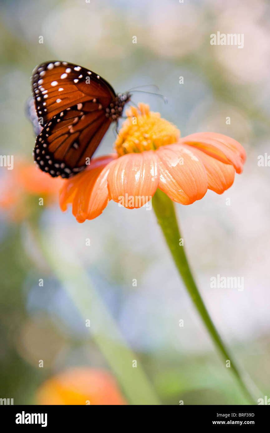 butterfly landing on an orange zinnia flower,  spotted monarch - Stock Image