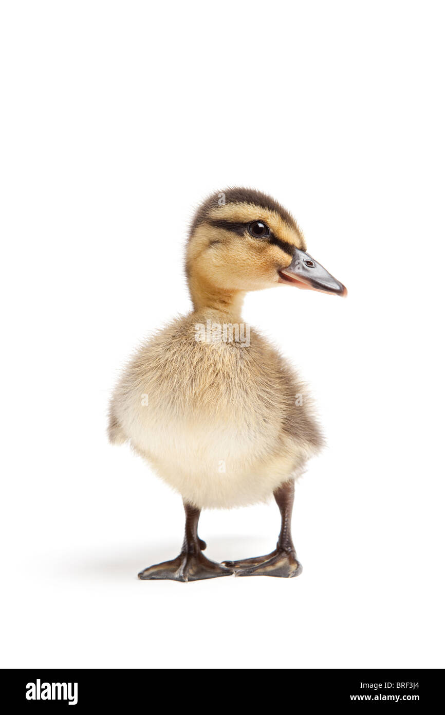 duckling isolated on white - female Mallard duck closeup - Stock Image