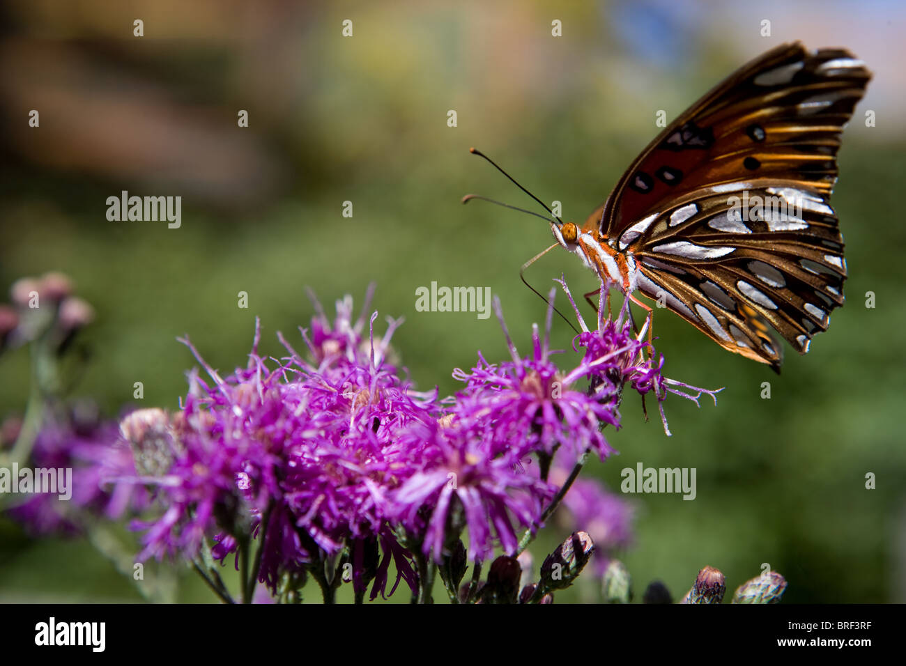 Painted Lady butterfly landing on a purple flower, drinking using its proboscis - Stock Image