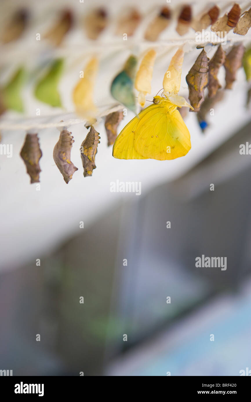 birth of a yellow butterfly.  emerging from a chrysalis, hanging among many cacoons of many colors. - Stock Image
