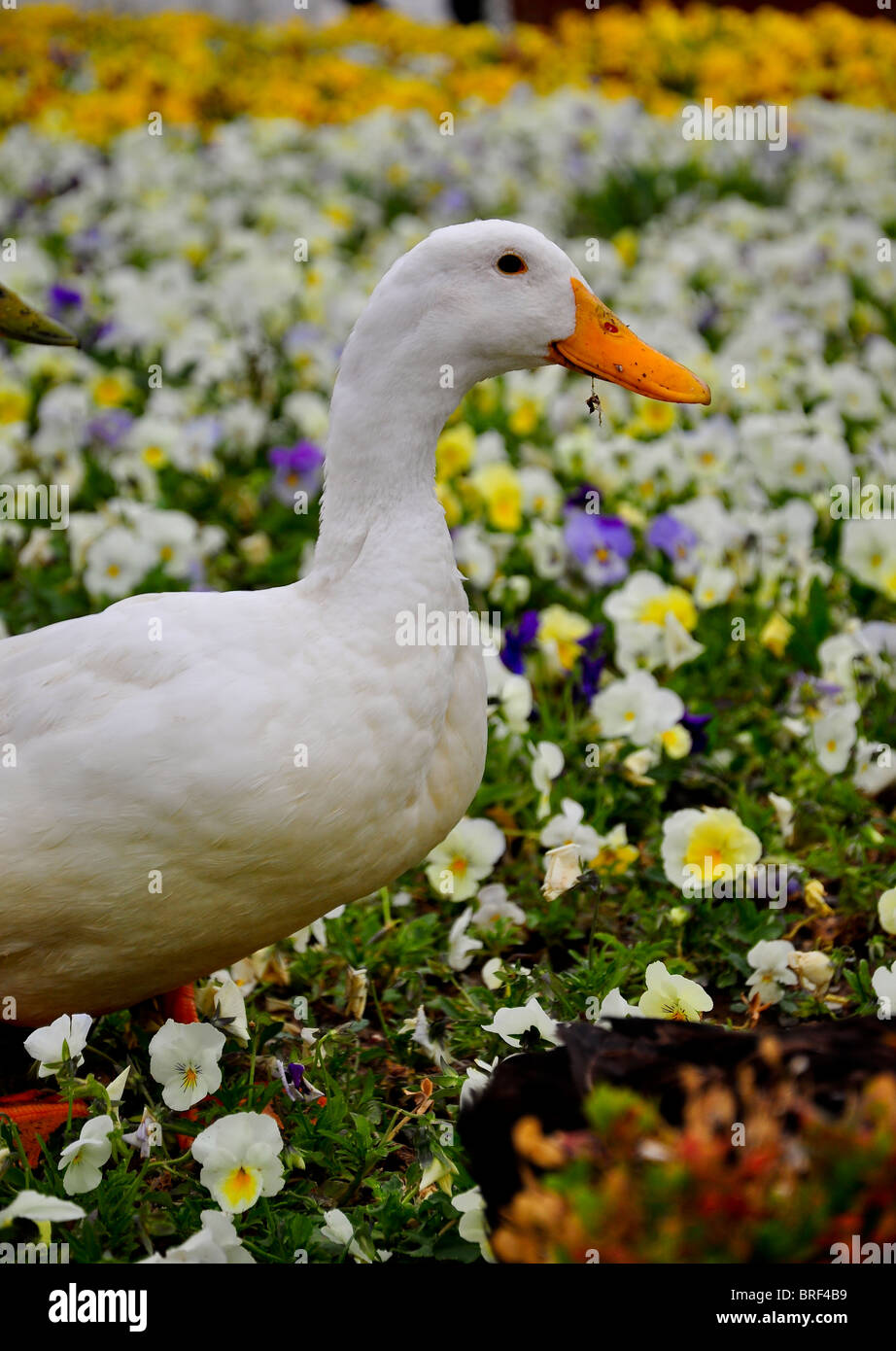 A white duck is playing on flowers - Stock Image
