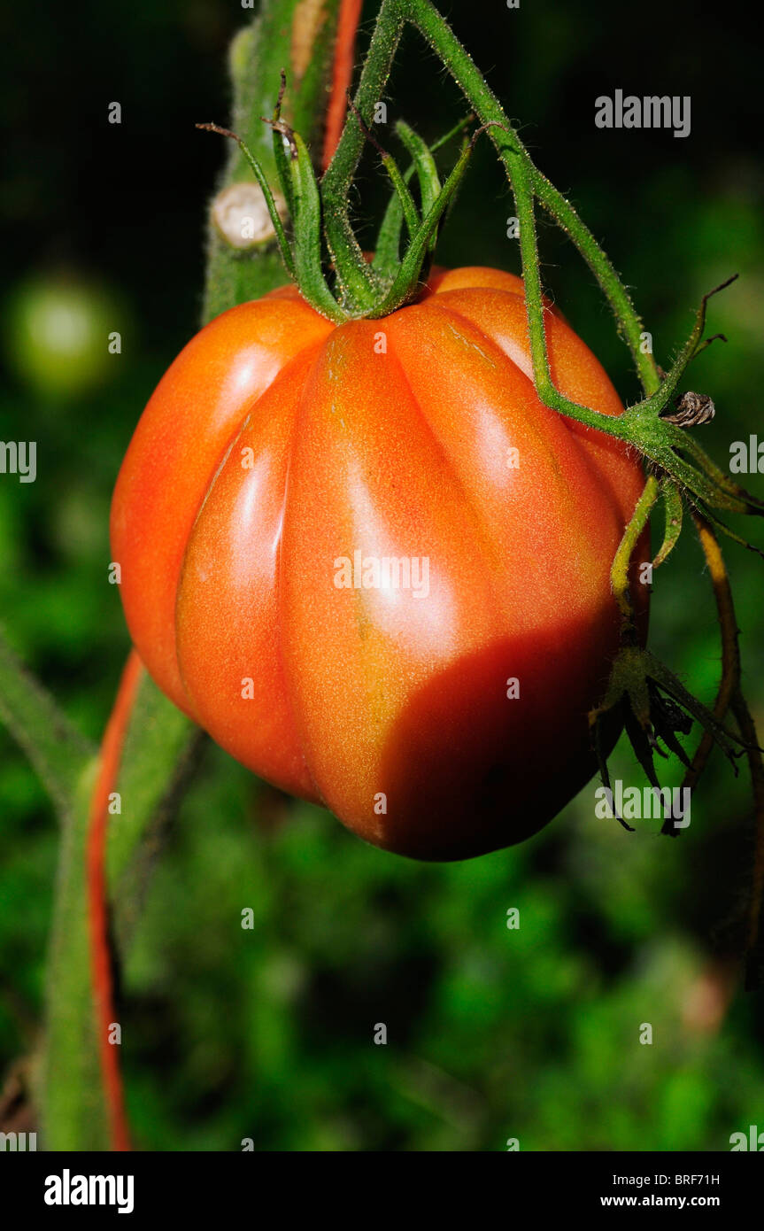 Brandywine tomato on stem - Stock Image