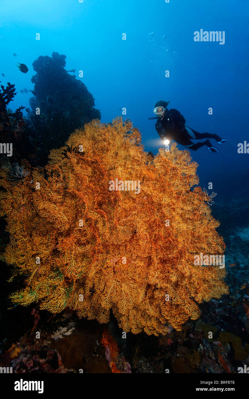 Diver looking at large, undefined Sea Fan at coral reef, Gangga Island, Bangka Islands, North Sulawesi, Indonesia, Stock Photo