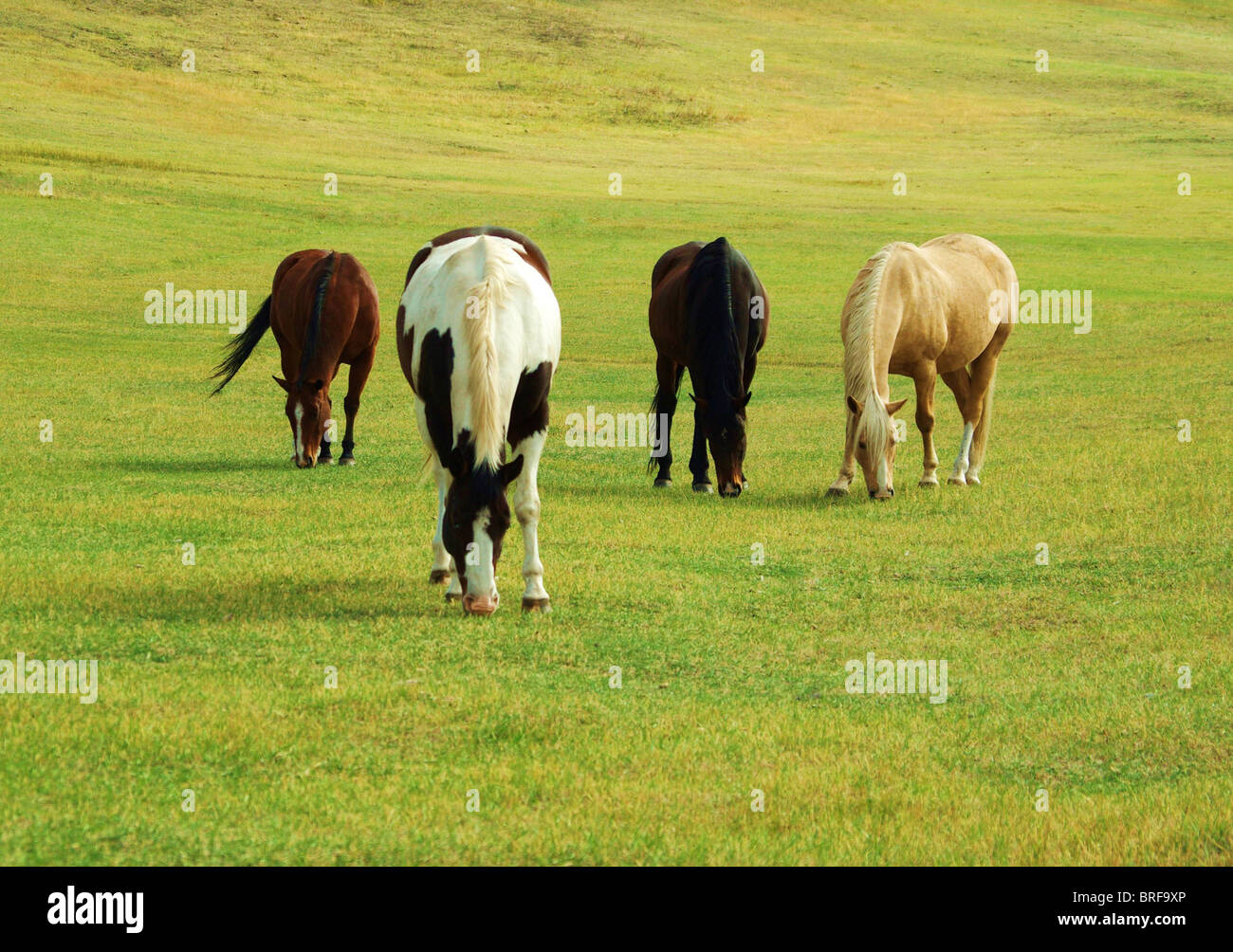 Four Horses grazing in green pasture on sunny afternoon. Stock Photo