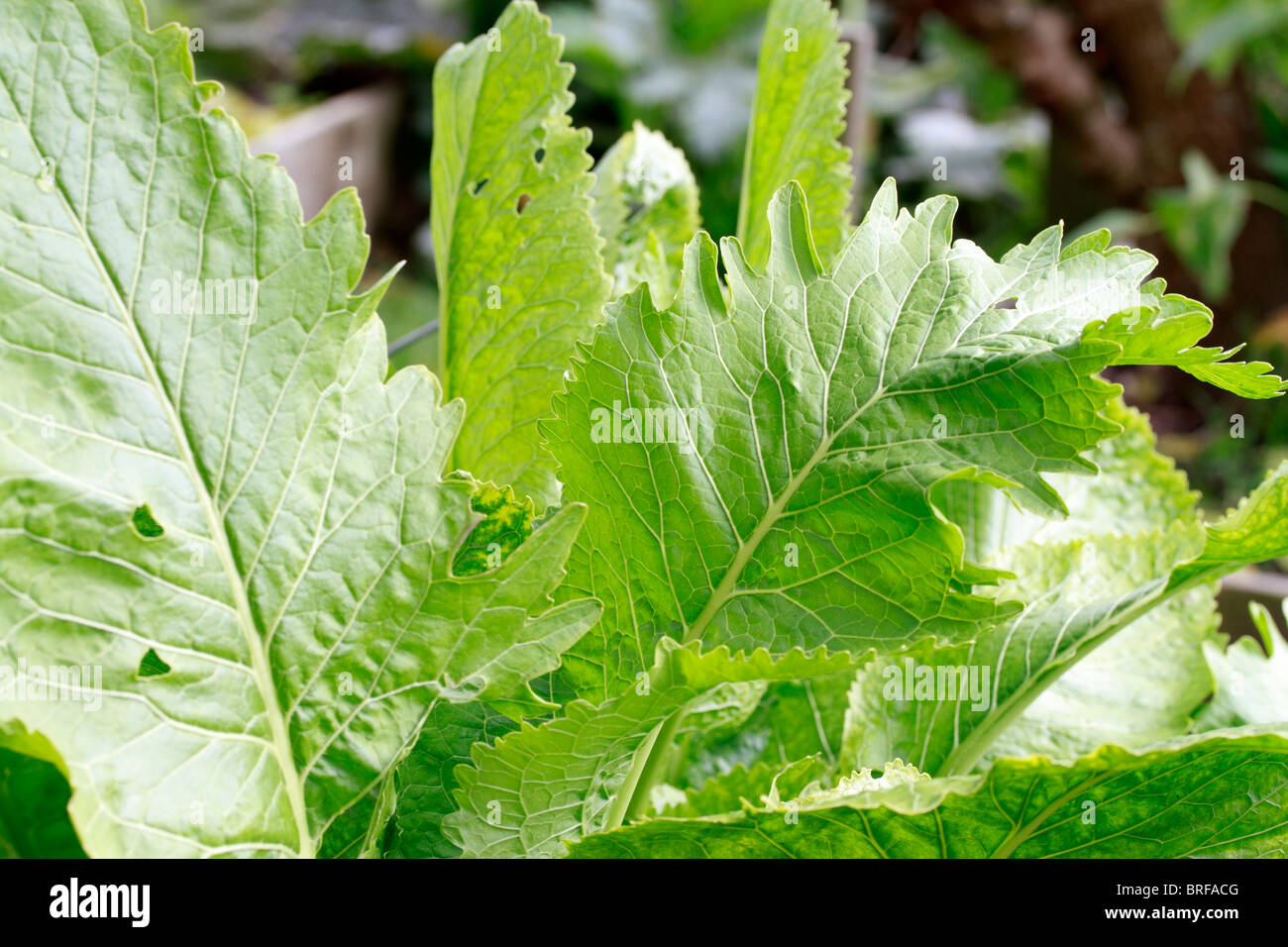 Horseradish, (Armoracia rusticana, syn. Cochlearia armoracia) is a perennial plant of the Brassicaceae family. Grown - Stock Image