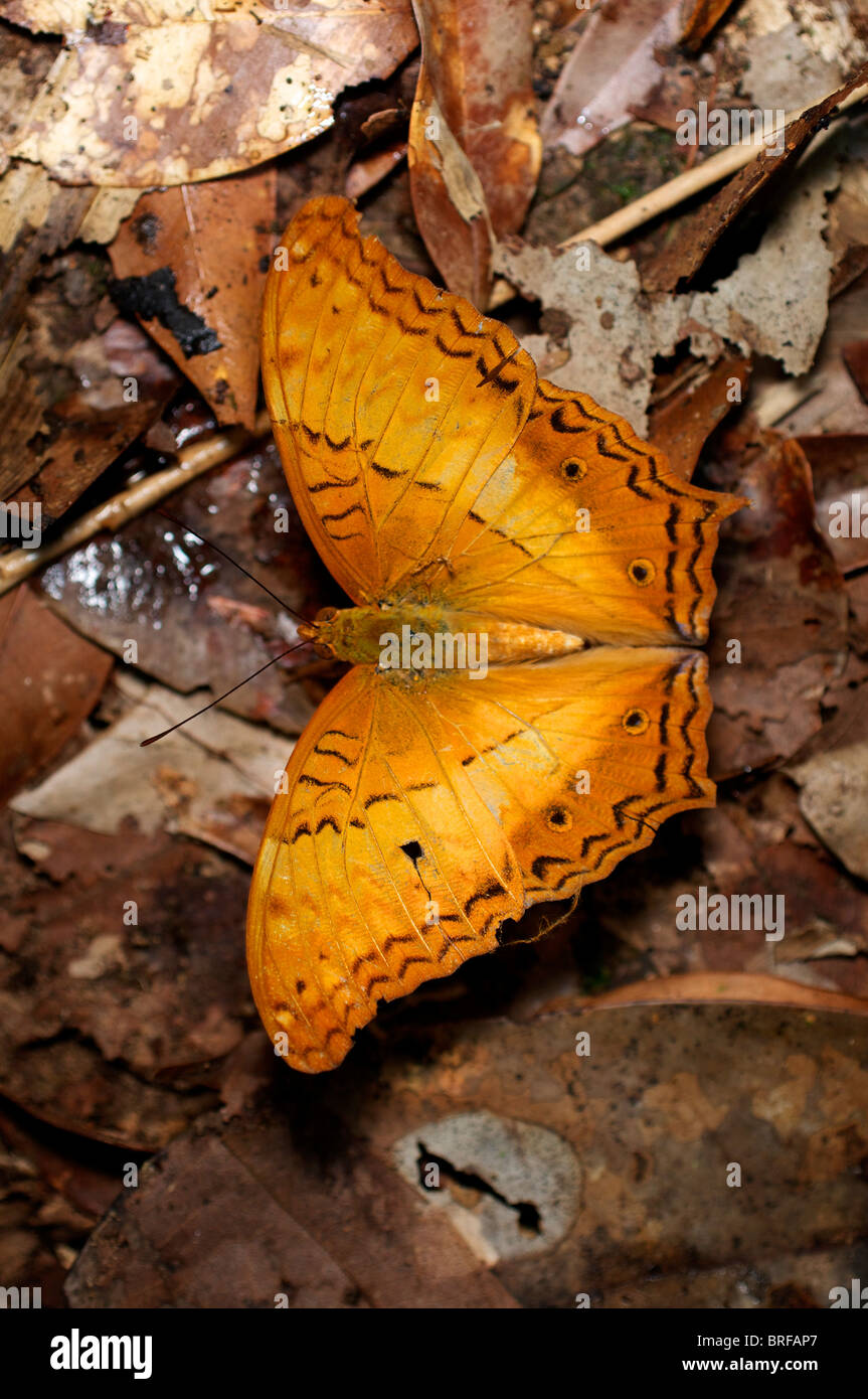 Male Common Cruiser buterfly, Vidula erota erota. This butterfly of the Nymphalidae family is at Pang Sida National - Stock Image