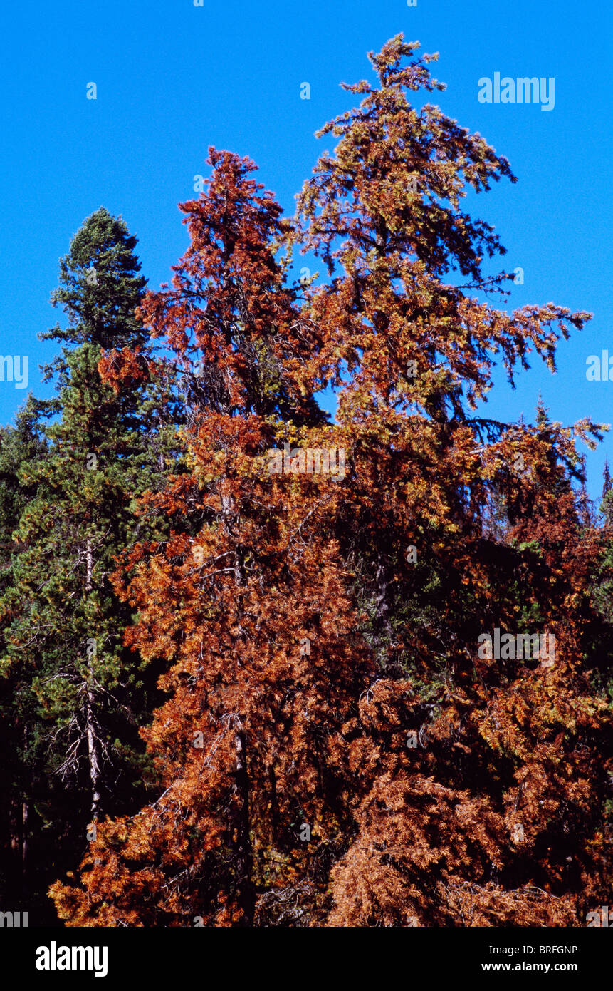Dying Lodgepole Pine Trees (Pinus contorta) infested by Mountain Pine Beetle, Insect Infestation, BC, British Columbia, - Stock Image