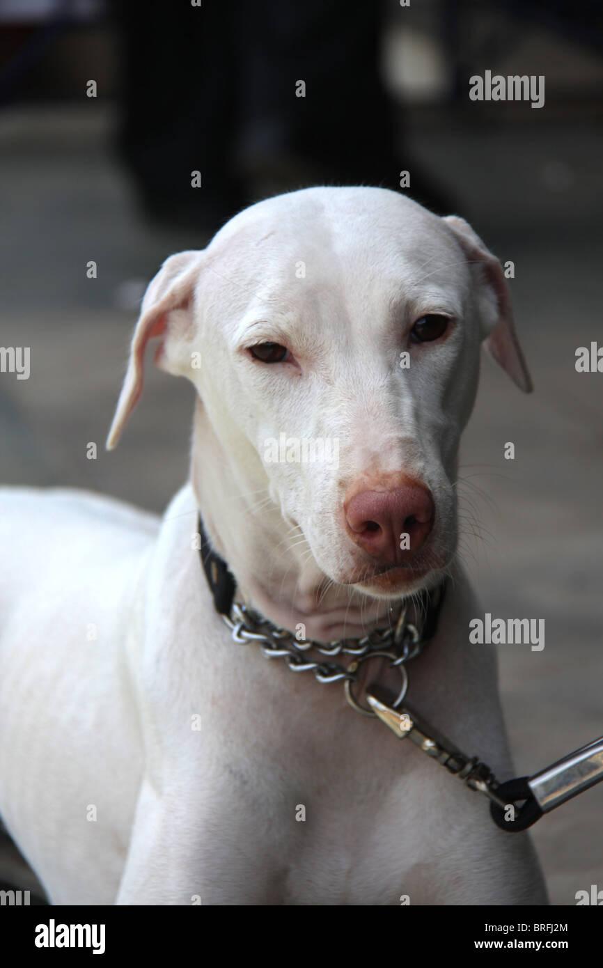 Rajapalayam at 23rd All India All Breeds Open Dog Show held at Chandra Sekharan Nair Stadium, Thiruvananthapuram, - Stock Image