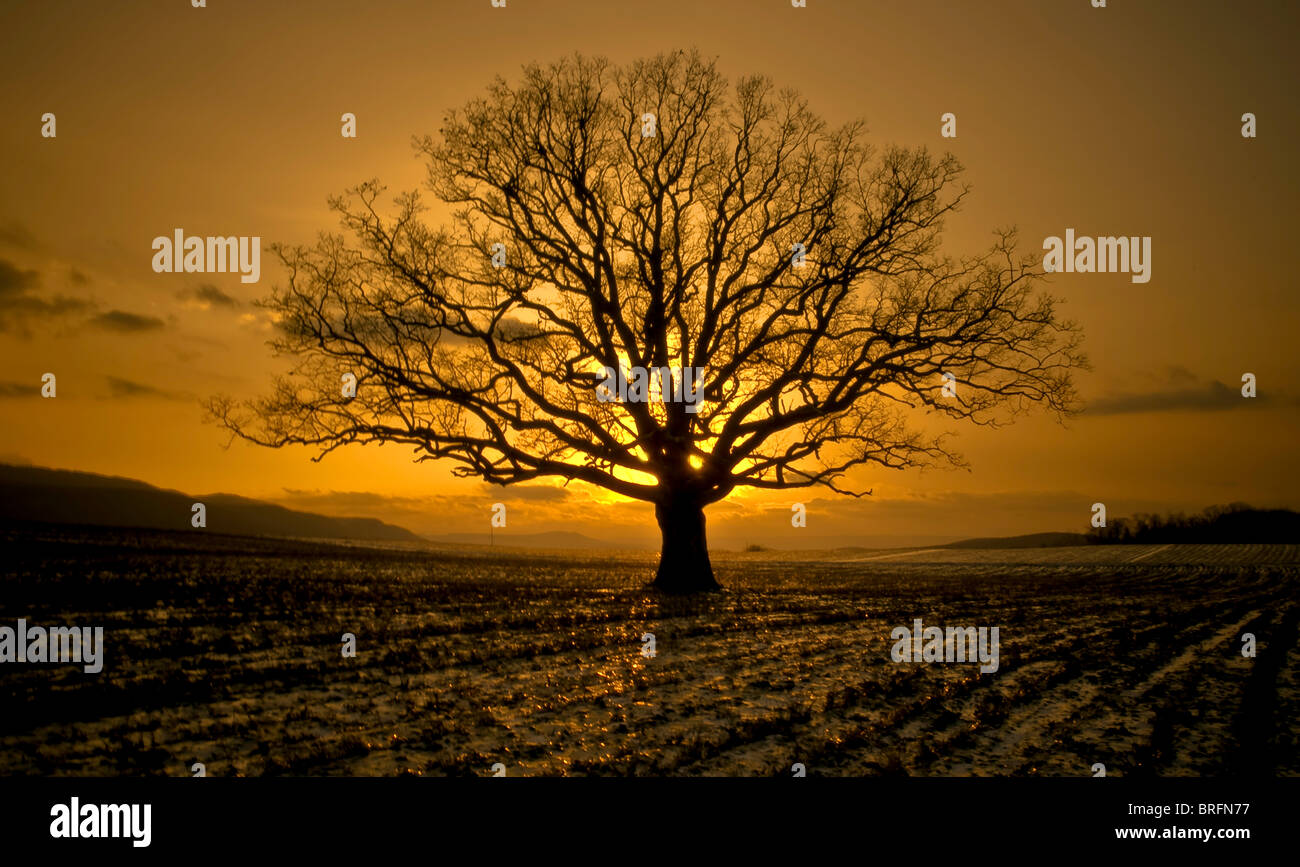 A Photograph of a large Oak tree in the evening as the sun is setting in Central PA  taken by Matt Ware. - Stock Image