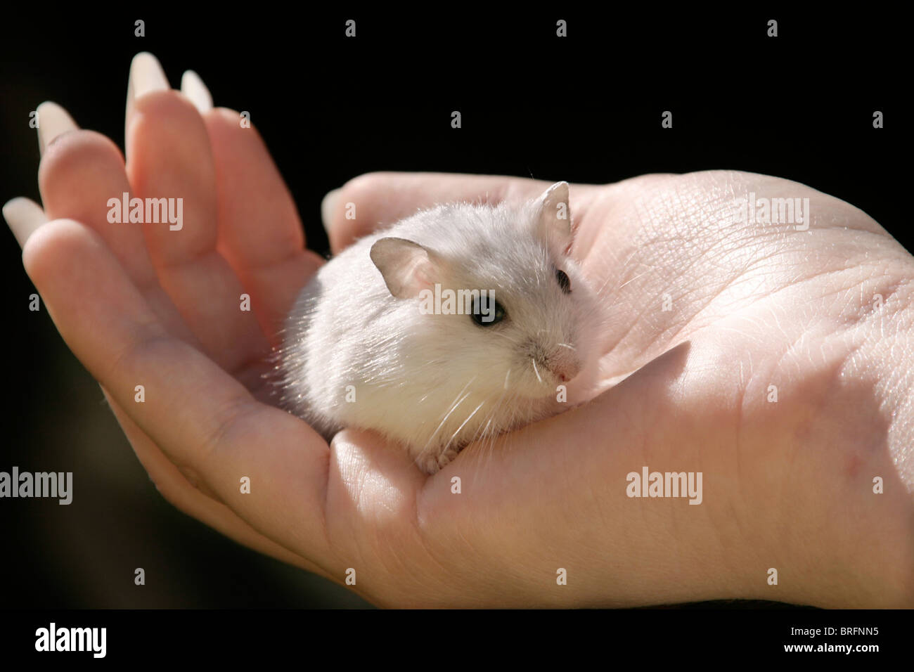 dwarf hamster in a hand - Stock Image