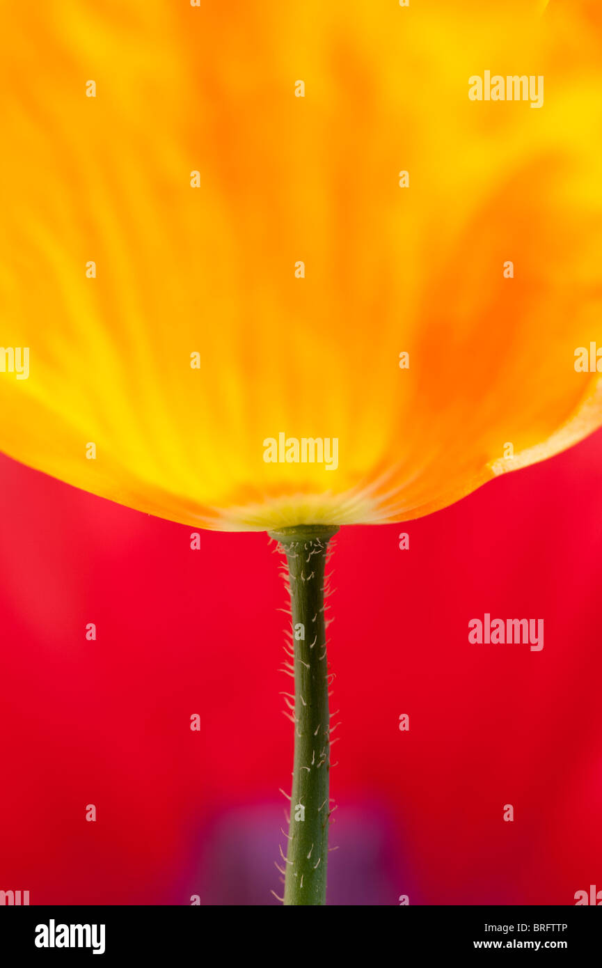 bright orange poppy set against a background of a classic red and purple poppy - Stock Image