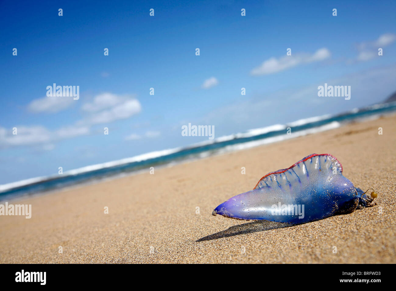 Portuguese Man of War jellyfish stranded on Atlantic beach - Stock Image