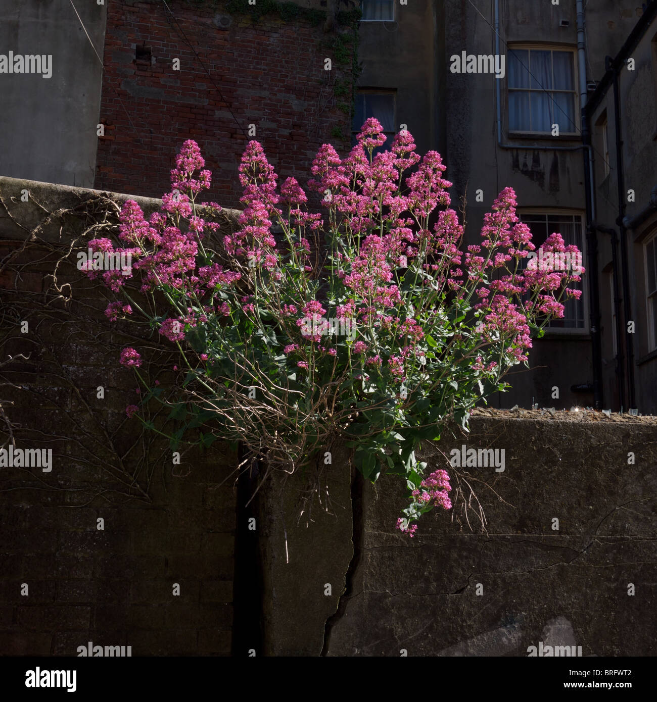 Wild Flowers Growing From Wall High Resolution Stock Photography And Images Alamy