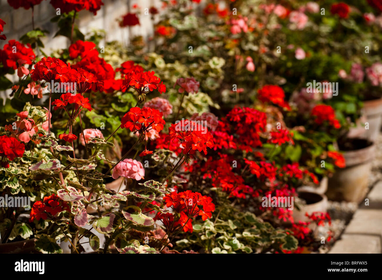 Zonal Pelargoniums, Geraniums, growing at The Lost Gardens of Heligan in Cornwall, United Kingdom - Stock Image