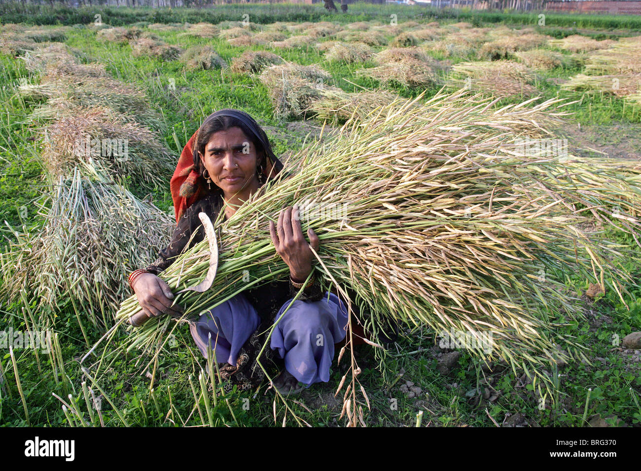 Peasant woman in a mustard filed with the harvest of mustard. Uttar Pradesh, India - Stock Image