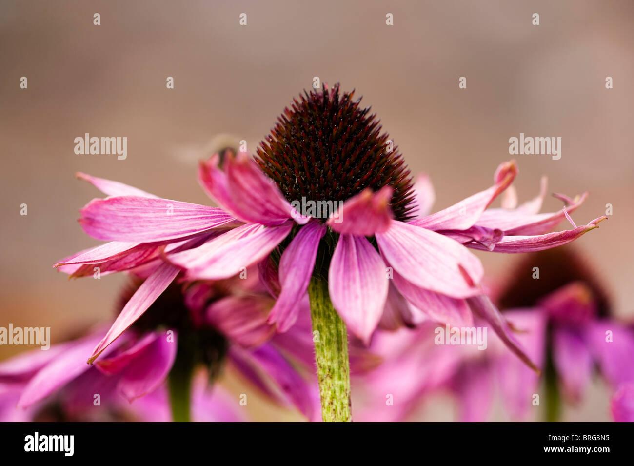 Echinacea purpurea, Eastern Purple Coneflower or Purple Coneflower, in bloom - Stock Image