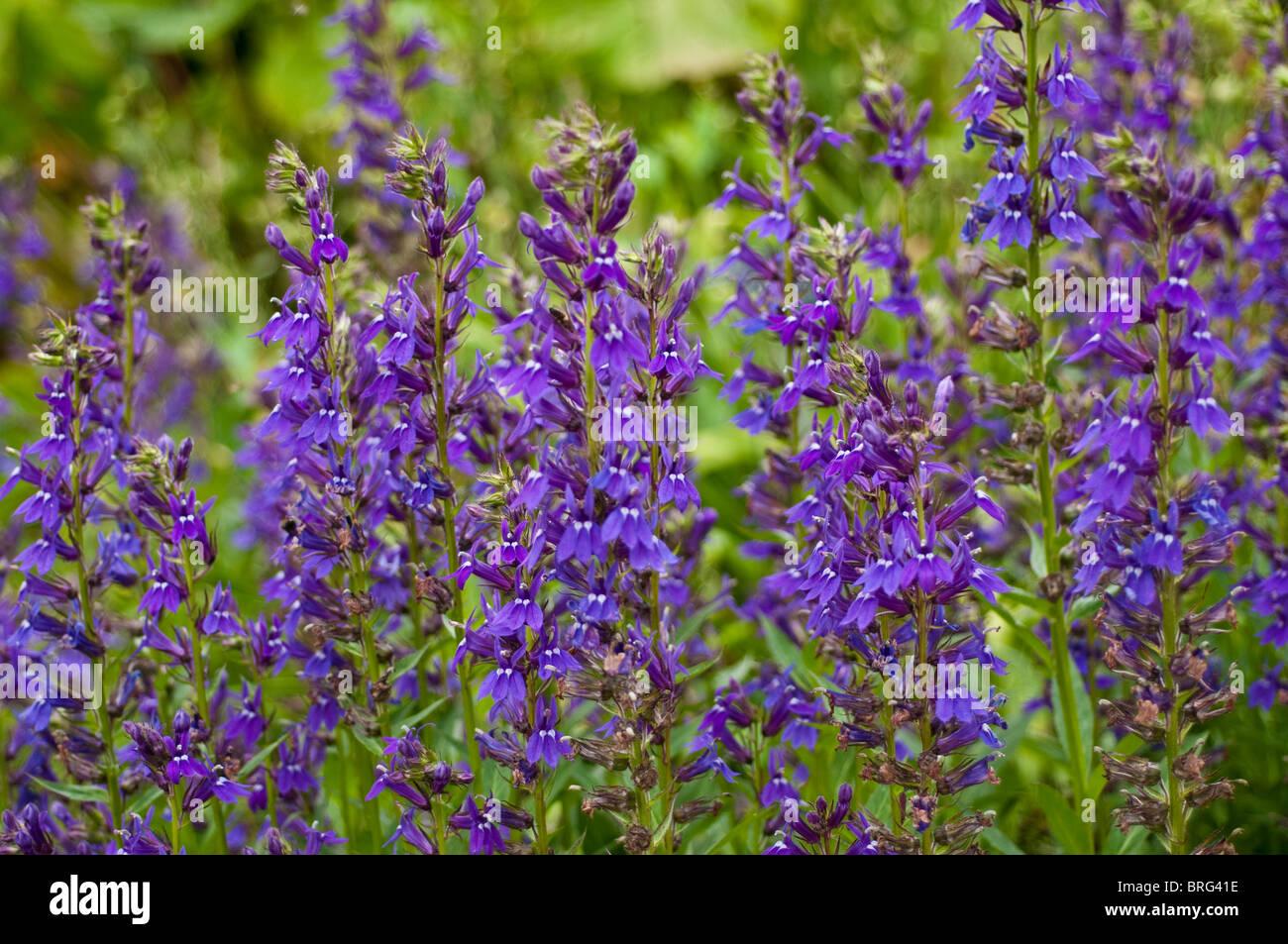 Lobelia X Speciosa Vedrariensis Flowers Stock Photo 31701866 Alamy