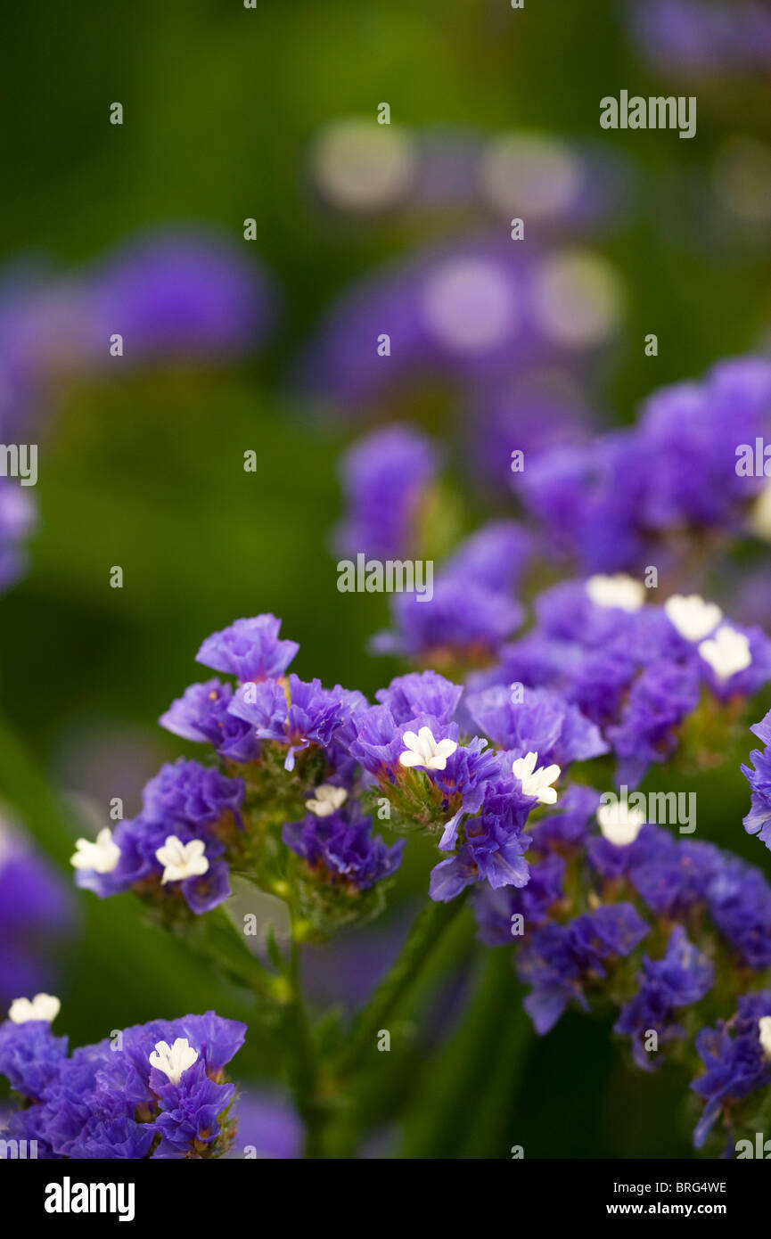Statice, Limonium sinuatum 'Dark Blue', in flower - Stock Image