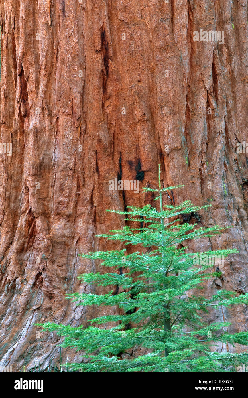 Small fir tree and giant sequoia in Mariposa Grove. Yosemite National Park, California - Stock Image