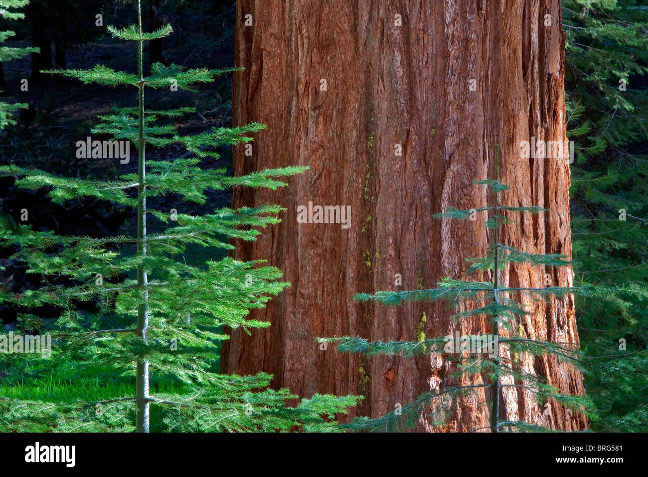 Giant Sequoia Redwood with smaller fir tree. Mariposa Grove. Yosemite National Park, California - Stock Image