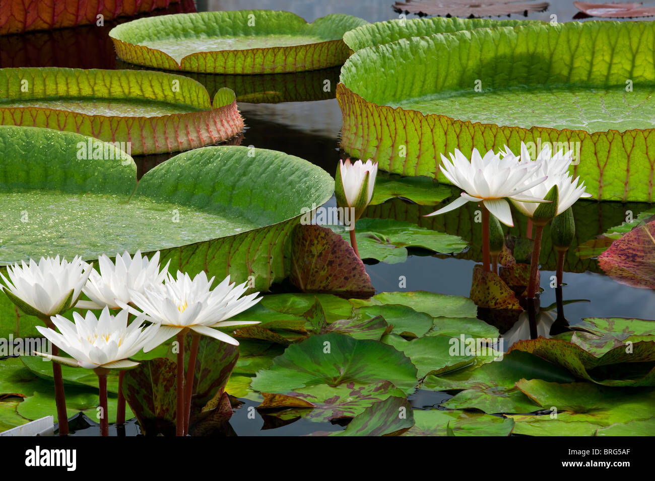 White tropical water lilies and large Amazon Lily leaves. Hughes Water Gardens, Oregon Stock Photo