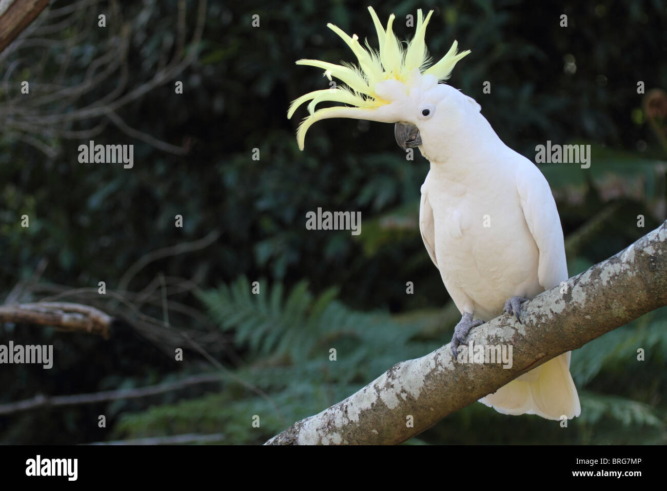 Sulphur-crested cockatoo with crest raised - Stock Image