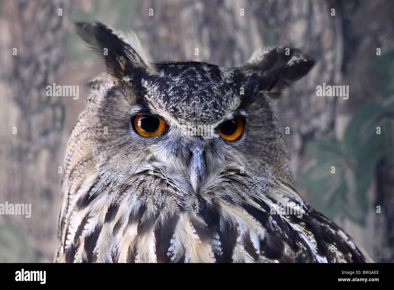 Head Of A Captive European Eagle Owl Bubo bubo At 'Animal Magic' Event, Martin Mere WWT, Lancashire UK - Stock Image