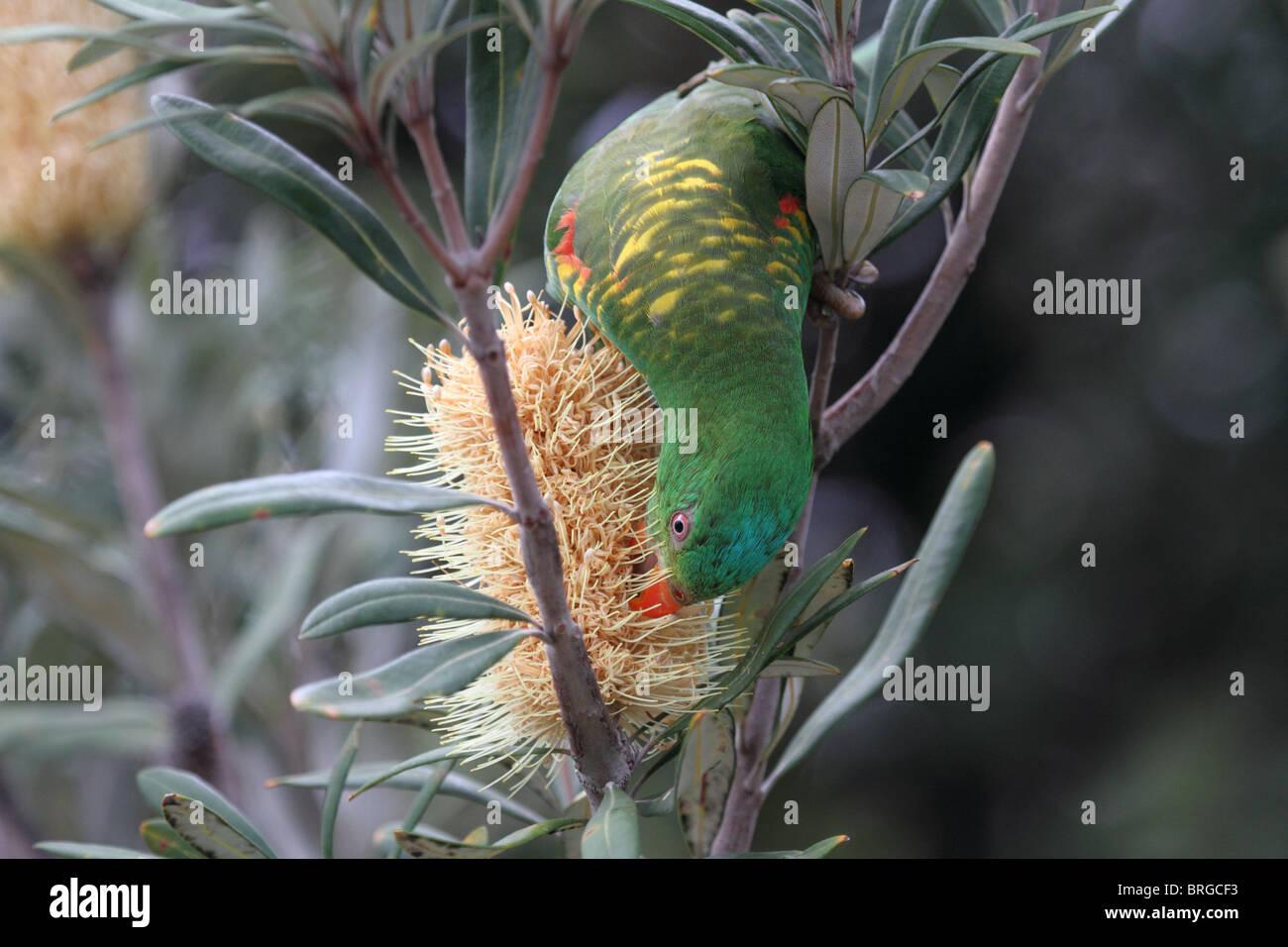 Scaly-breasted lorikeet feeding on banksia pollen - Stock Image
